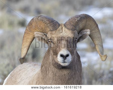 Bighorn Sheep Ram Portrait  In The Grass And Sagebrush With Snow On Ground During Autumn Or Fall