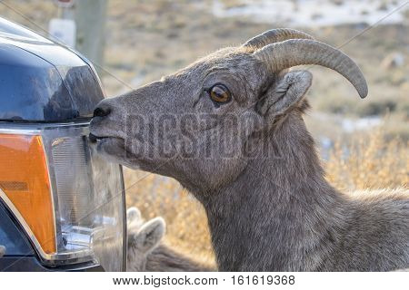 Bighorn Sheep Licking Salt Off Car Or Truck To Supplement Diet With Sodium In Autumn
