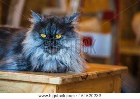 Close up of Persian cats Playing in a Cat Cafe coffee shop