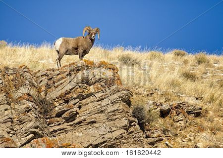 Bighorn Sheep Ram On Rocky Cliff Overlook With Grass And Blue Sky In Background