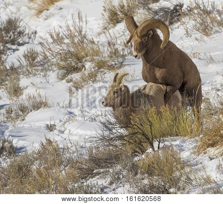 Bighorn Sheep Ram And Ewe Mating On Snow With Grass In Background