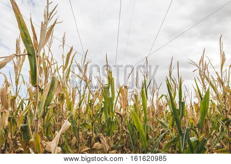 Tall corn stalks stand underneath cloudy skies and power lines in a midwestern or western United States farm.