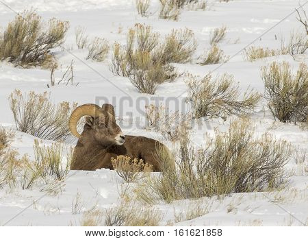 Ram Bighorn Sheep Ruminating In Snow Bank With Sagebrush, Grass And Other Plants During Winter