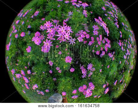 Close up cosmos flowers by fisheye lens