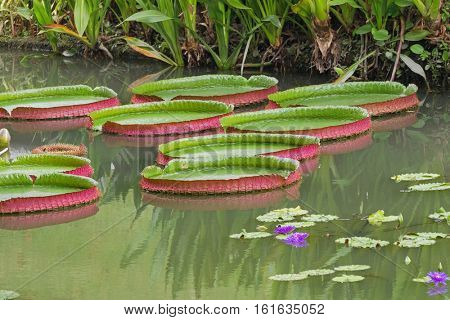 Giant Waterlily pads in green and red (Victoria amazonica) in pond in Singapore, Asia