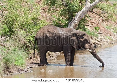 Drinking elephant at a waterhole in the Kruger National Park, South Africa