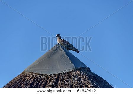 Dove on the top of the thatch roof at Royal Natal Park in Drakensberg, South Africa