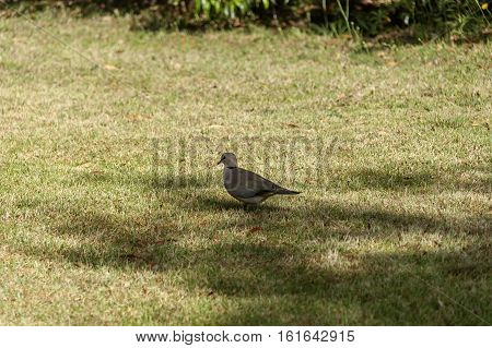 Dove in garden by house in Royal Natal National Park Drakensberg, South Africa