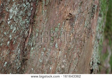 The red texture of the bark on the trunk of a Yew tree