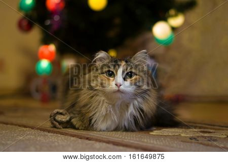 Portrait of long-haired cat on blurred background with Christmas tree and glowing garland
