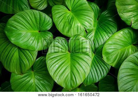Close Up Tropical Nature Green Leaf Caladium Texture Background.