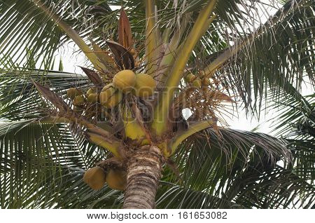 green palm with mellow coconuts in tropical beach