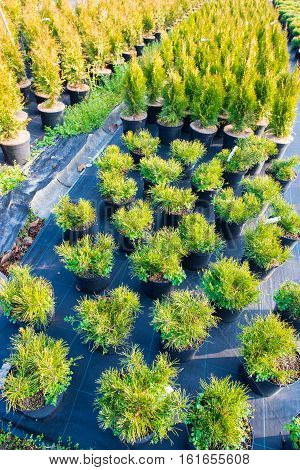 Cultivation of decorative plants. Firs fir cypress. Greenhouse conditions. Selective focus on foreground.