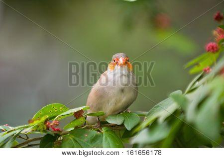 Finch On A Tree