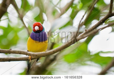 Gouldian finch female. Selective focus, color image