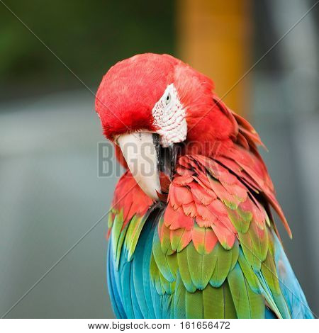 Portrait of a scarlet macaw, outdoors, color image,