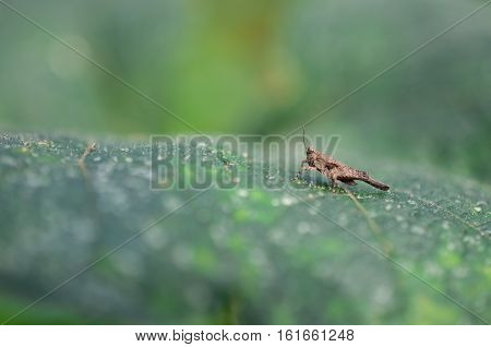 Macro of Grasshopper on the fresh green leaf. Image of Grasshoppers. Close up of a grasshopper sitting on blade of grass