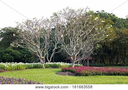 Frangipani Tree With Tropical Flowers In The Garden