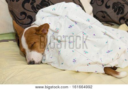 Little Basenji puppy having short siesta on a sofa.