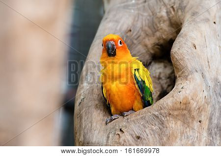 Sun Conure parrot standing at branch in park