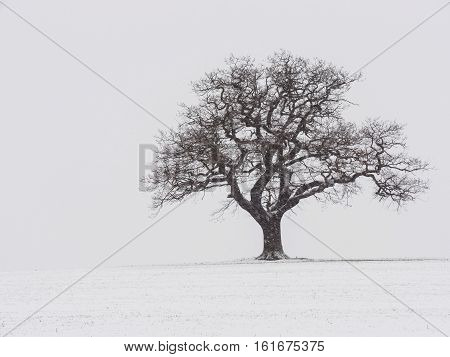 Lone tree in the middle of a snow covered field in Melbourne Derbyshire in January 2013.