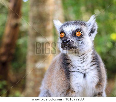 Close-up portrait of a ringtail lemur