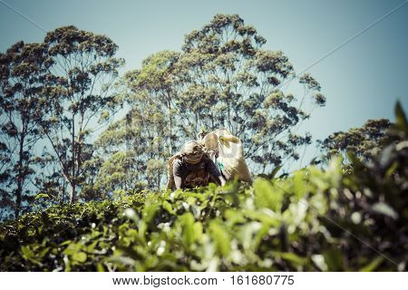 Nuwara Eliya, Sri Lanka - December 02: Female Tea Picker In Tea Plantation In Nuwara Eliya, December