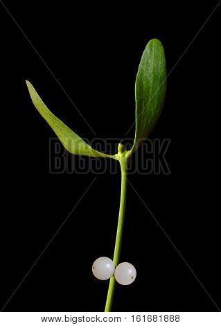 Mistletoe (Viscum album) close up isolated on black background