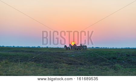 Herd of Zebras walking in the bush in backlight at sunset. Scenic colorful sunlight at the horizon. Wildlife Safari in the african national parks and wildlife reserves.
