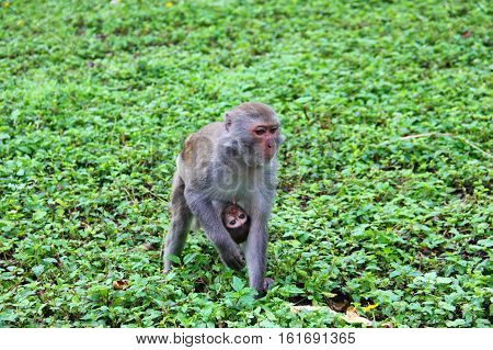 touching the frame, a monkey mother carries baby, toddler, who clings to the belly and suckles, drinking milk
