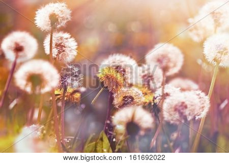 Selective focus on dandelion flower and dandelion seeds ( fluffy blow ball) in meadow lit by sun rays