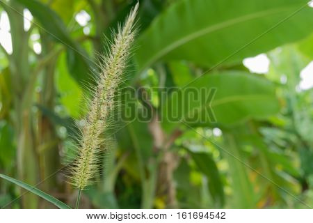 Close up Grass flower with burr background.