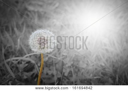 Close up of blowball on black and white natural background with raylight. Selective focus