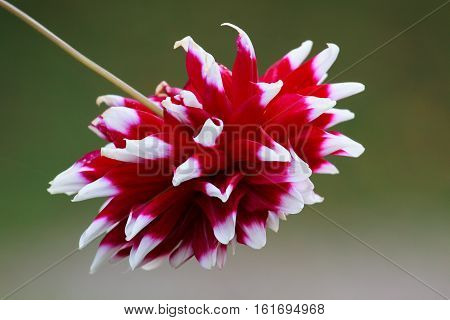 The dahlia (Dahlia) is a genus of flowering plants in the sunflower family