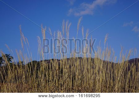 Dried Grass Under The Blue Sky
