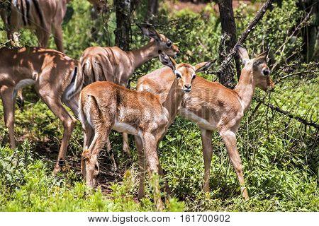 Group Of Young Immature Impala Antelope