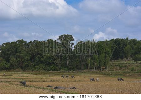 buffaloes in the cornfield. Thailand cornfield in Chiangmai.