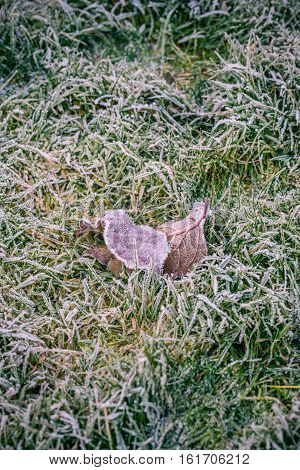 Couple Of Frozen Leaves In Cold Grass