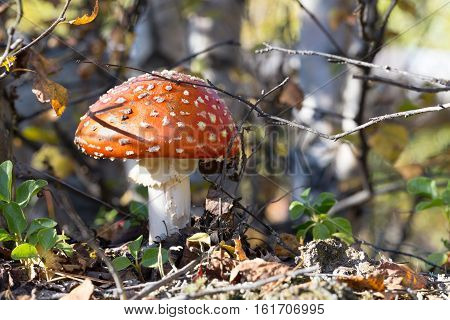 Poisonous mushroom fly agaric in autumn forest
