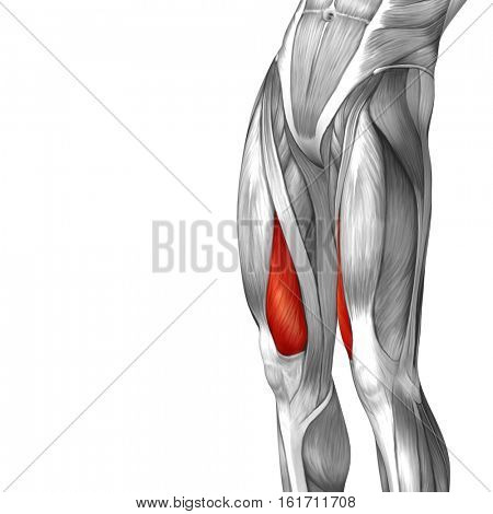 Concept or conceptual 3D illustration human upper leg anatomy or anatomical and muscle isolated on white background