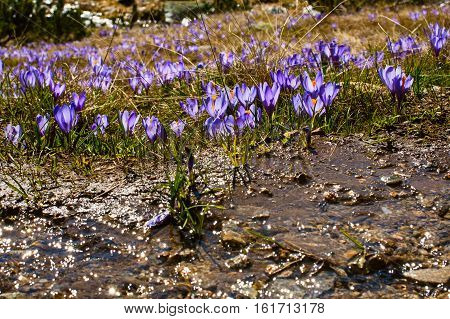 Spring background with close-up group of blooming crocuses spring flowers and menting water