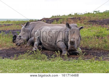 Two white rhinos that have been de-horned for protection against poachers