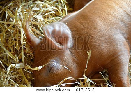 A baby piglet sleeping in the hay