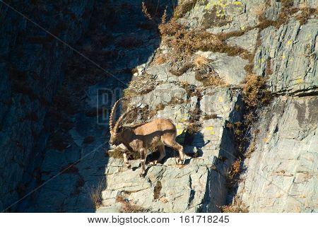 Capricorn climbs the mountain in russia taiga