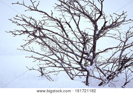 The image of a winter tree on a snow
