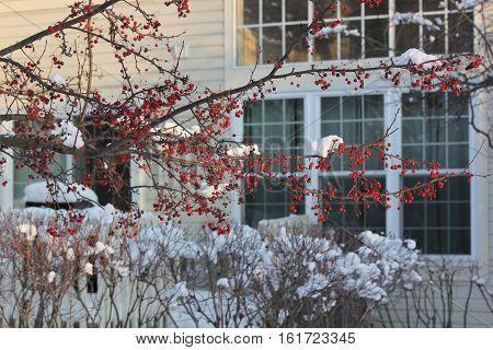 Crab Apple Drupes and fresh white snow making a pretty sen in Hoffman Estates, Illinois