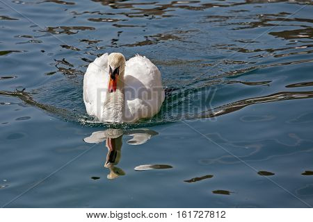 White swan on the river Reuss waters in Lucerne in Switzerland