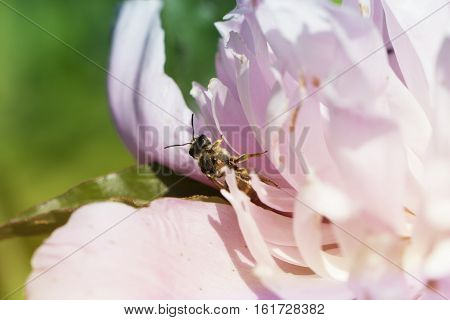 Wasp in the flower of pink peony. wasp on a flower of pink peony