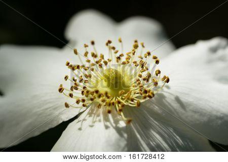 White dog-rose close-up. Flower natural background. Horizontal composition.