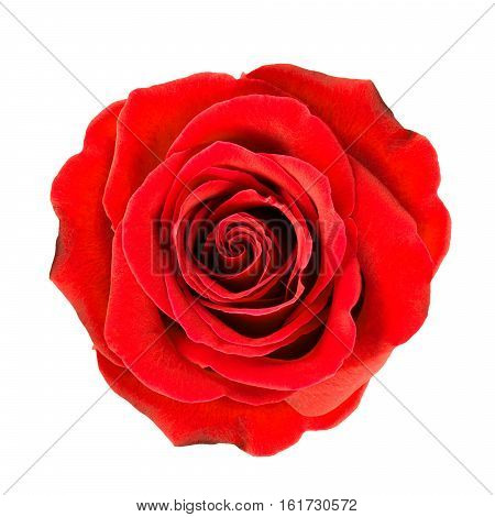 Dark red rose flower close up isolated on white.